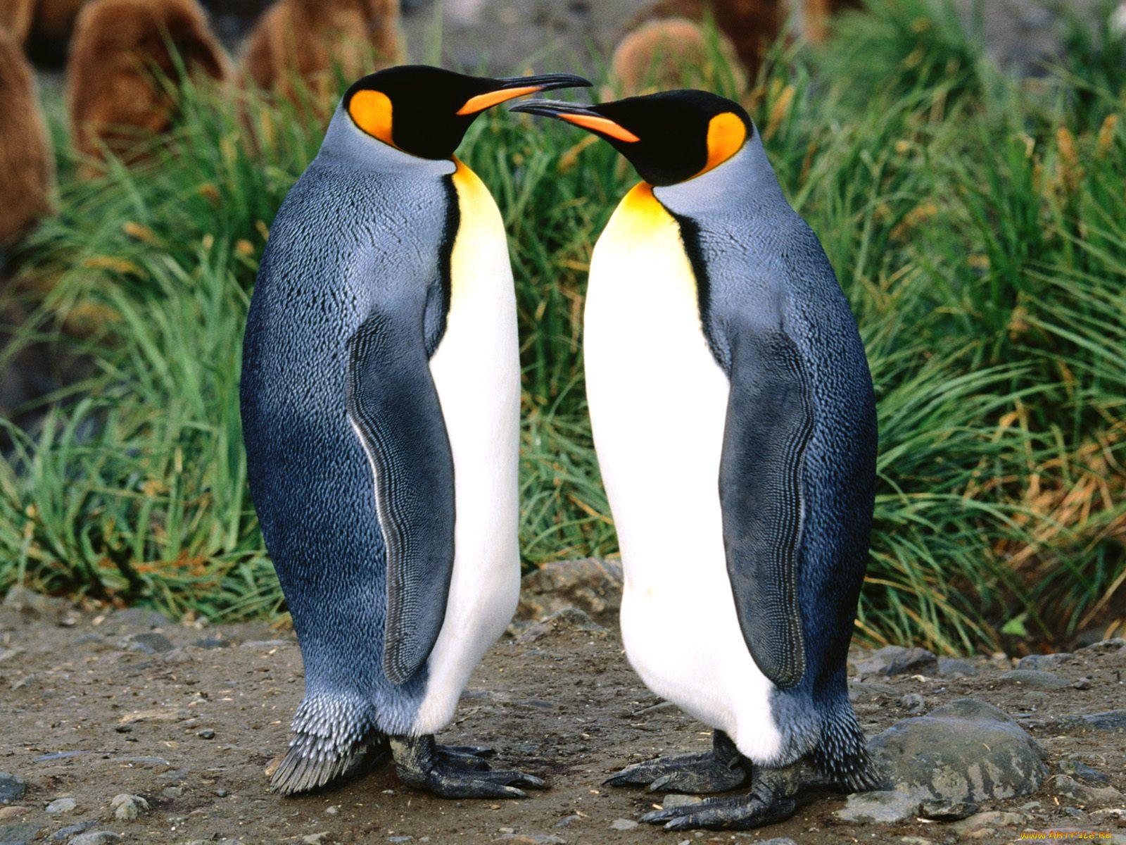 картинка двух пингвинов диссеминированный туберкулез